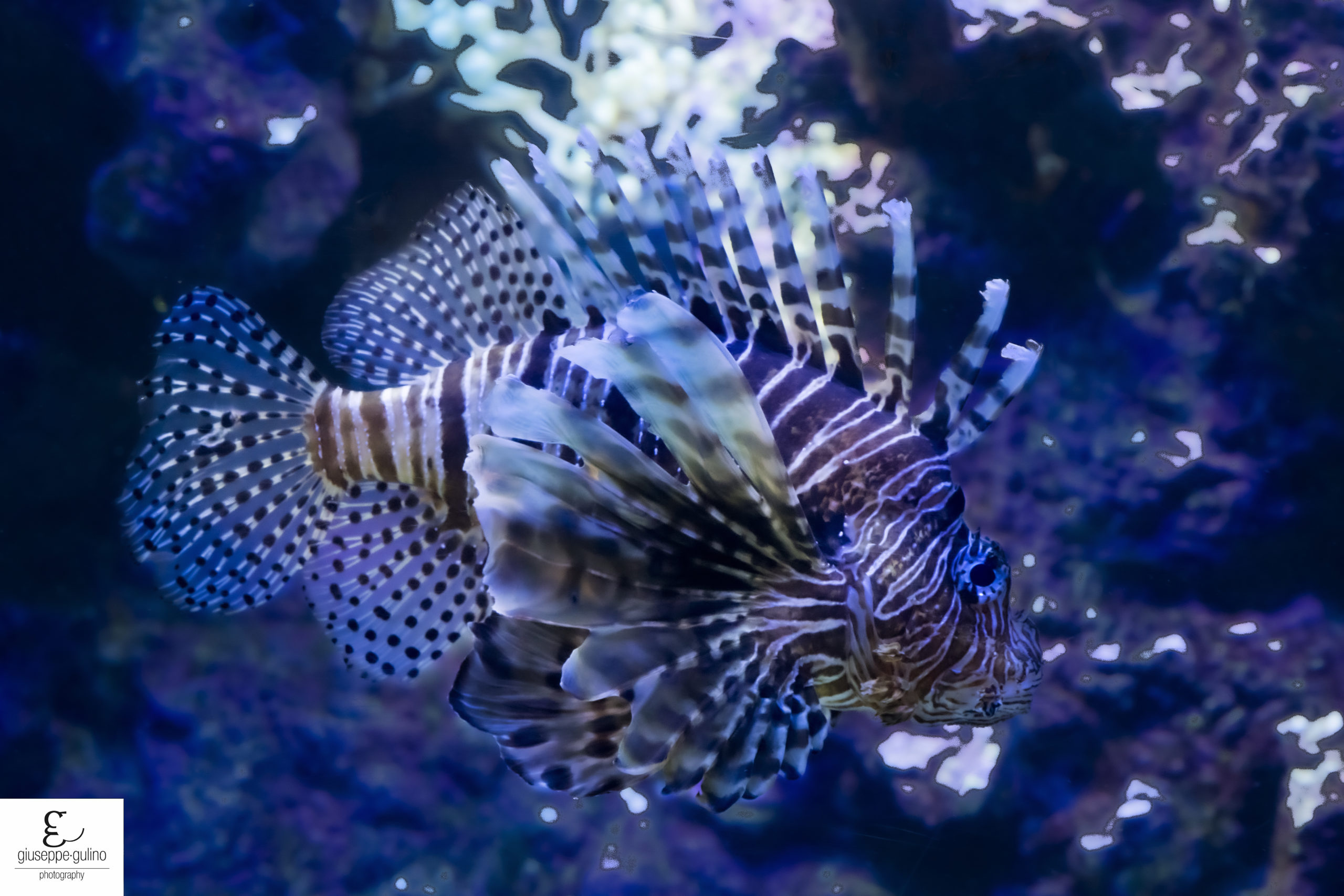 Skorpion Fish